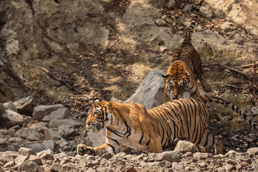 tiger uk photographer-148.jpg
