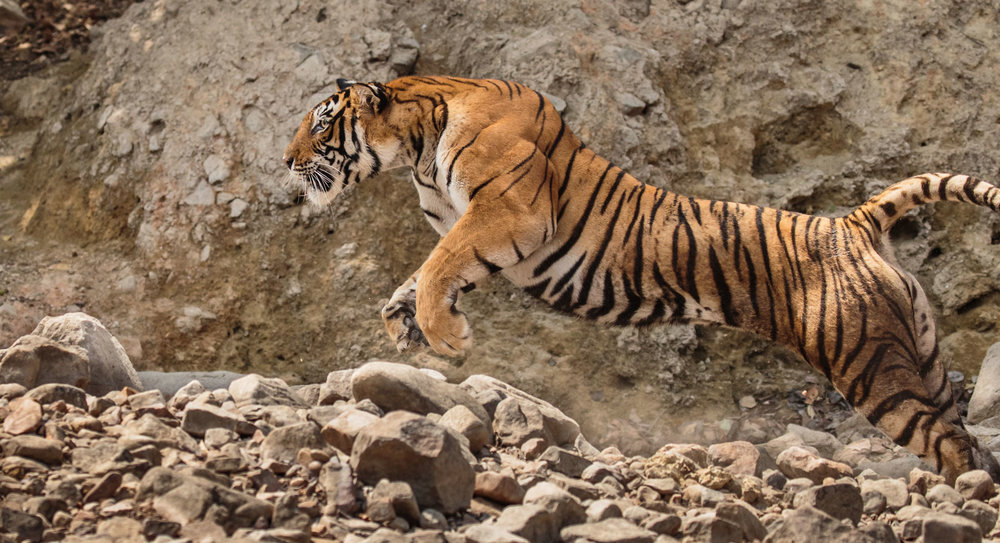 tiger uk photographer-152.jpg