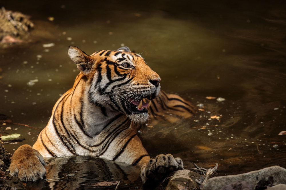 tiger uk photographer-158.jpg
