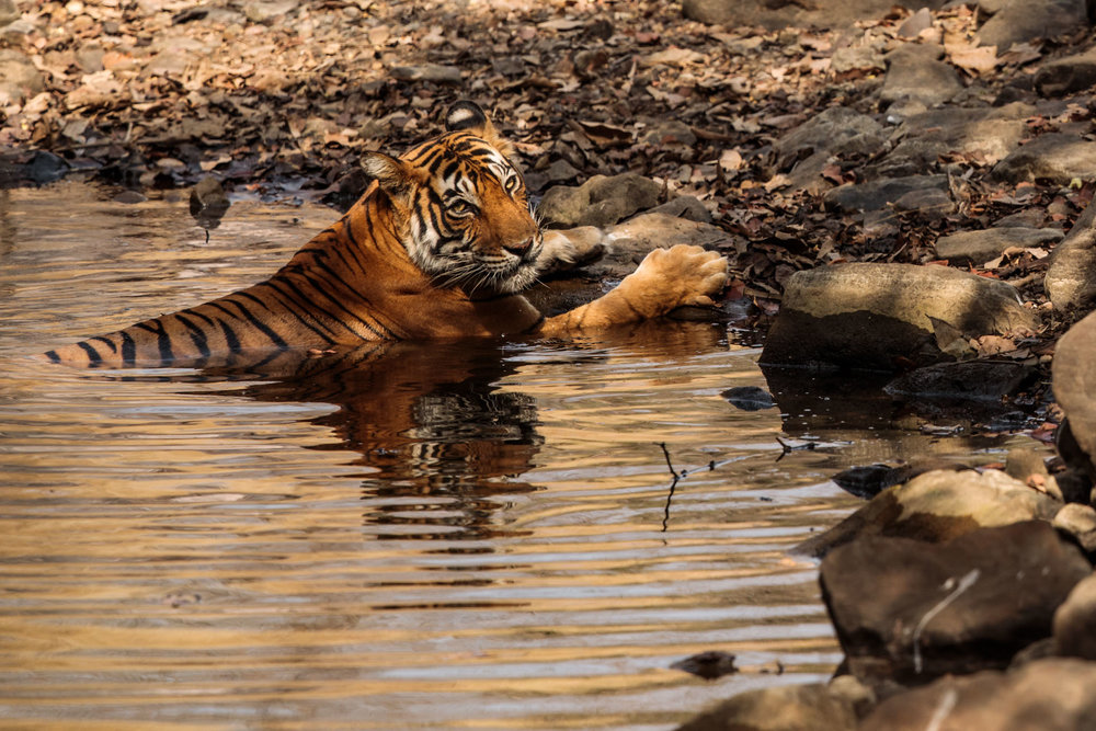 tiger uk photographer-166.jpg