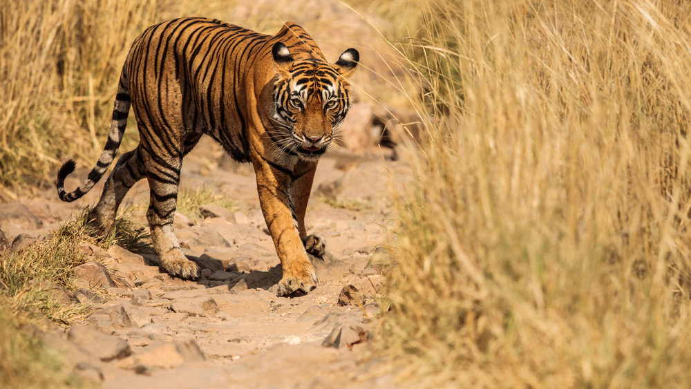 tiger uk photographer-168.jpg