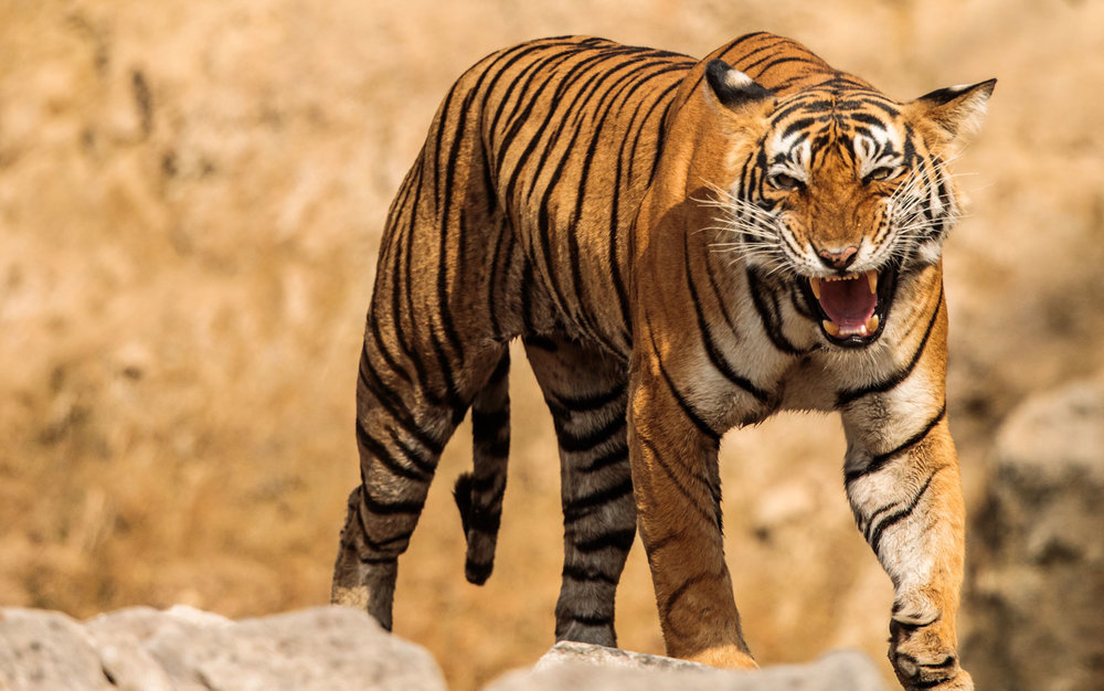 tiger uk photographer-169.jpg