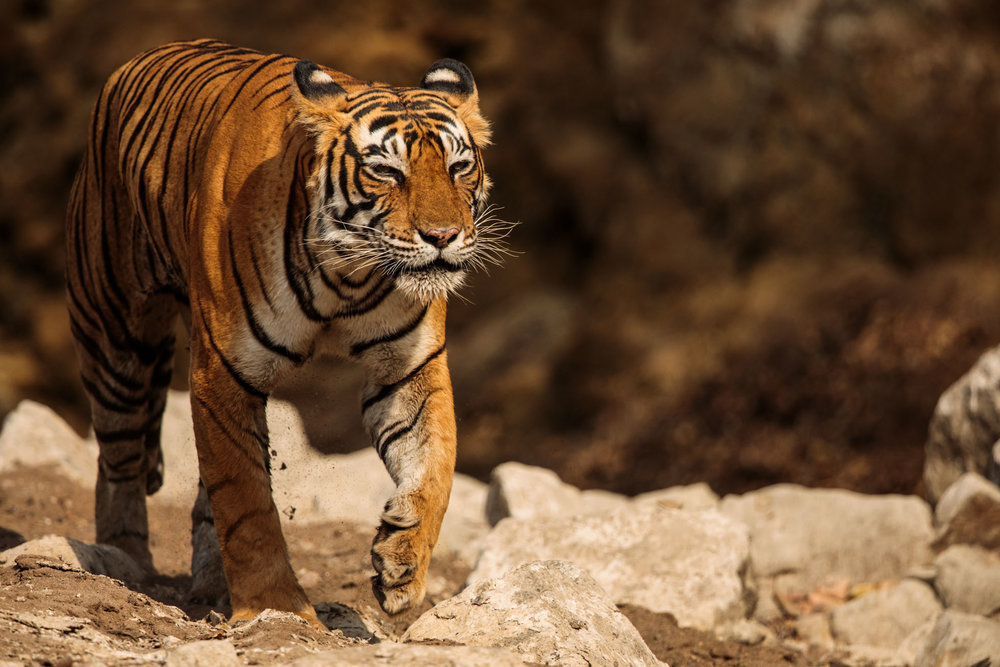 tiger uk photographer-171.jpg