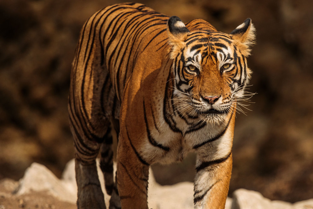 tiger uk photographer-172.jpg