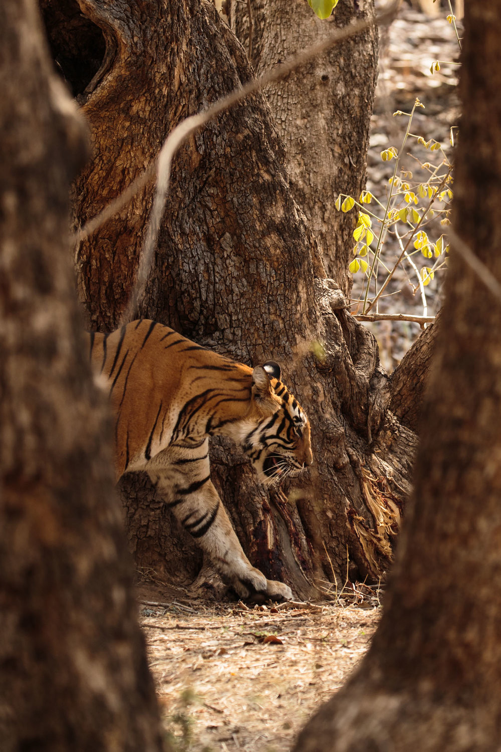 tiger uk photographer-175.jpg