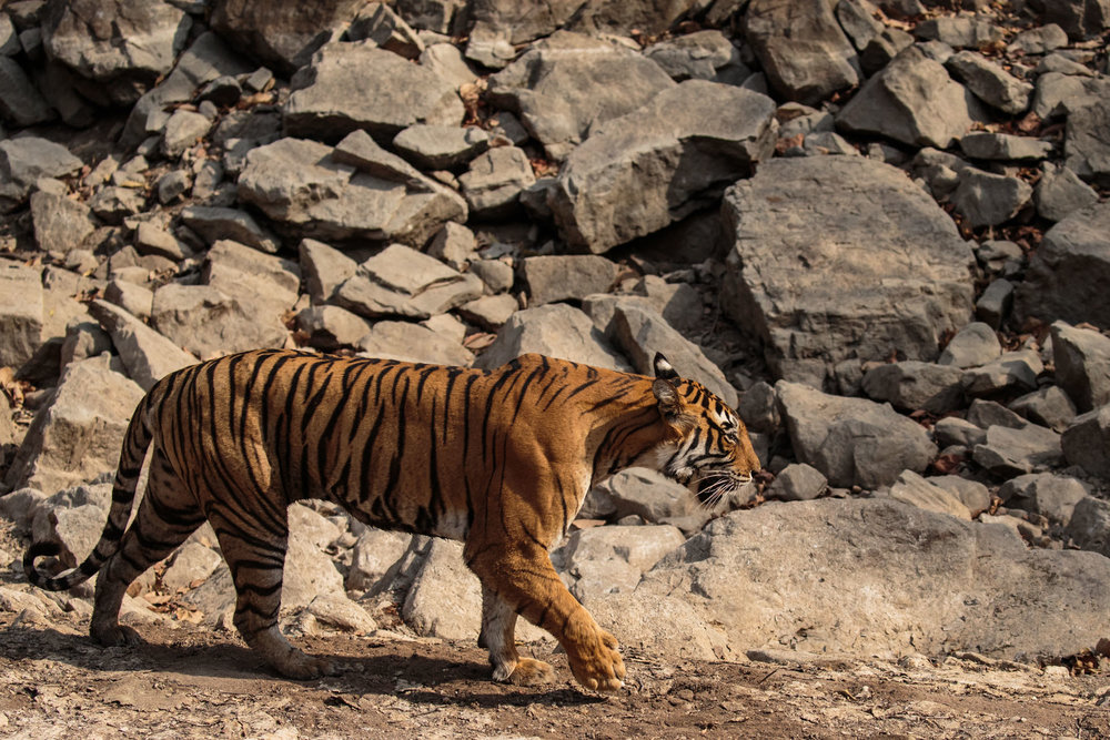tiger uk photographer-174.jpg