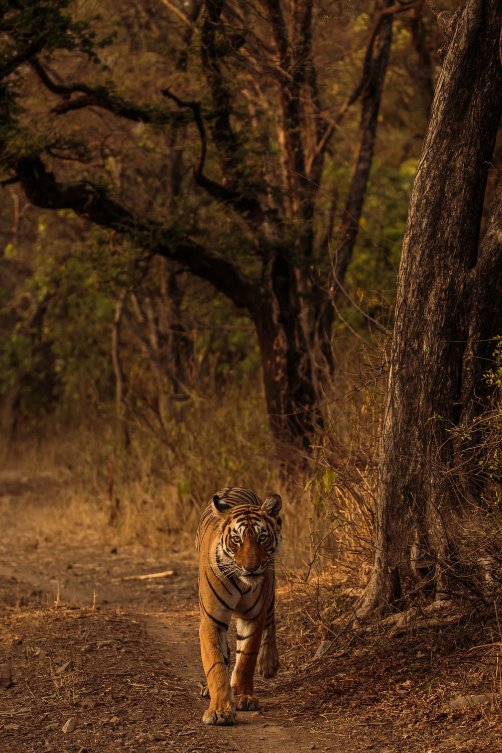 tiger uk photographer-203.jpg