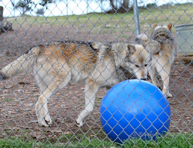 A huge ball given to the wolves at the California Wolf Center for entertainment.  Great idea!