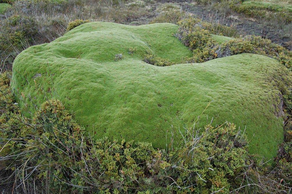 Ancient Cushion Grass