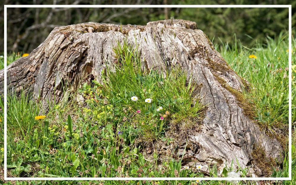 Tree Service Tidbit - When it comes to tree removal, you may wonder if spending the extra money to grind the stump is worth it. These four factors can help you decide.1. Stumps are safety hazards. People may be in for a trip if they're not paying attention.2. Stumps encourage new growth. The little trees that continue to sprout can be annoying.3. Stumps get in the way. It can be difficult to maneuver around a stump while mowing.4. Decaying stumps attract insects. You don't want ants, beetles and termites coming around.