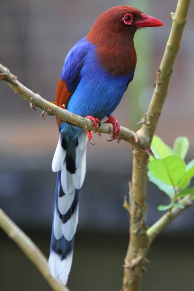 blue_magpie.jpg