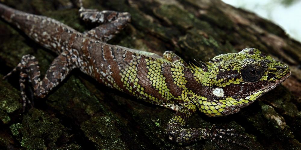 calotesliocephalus.jpg