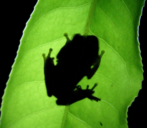 frog shadow copy.png