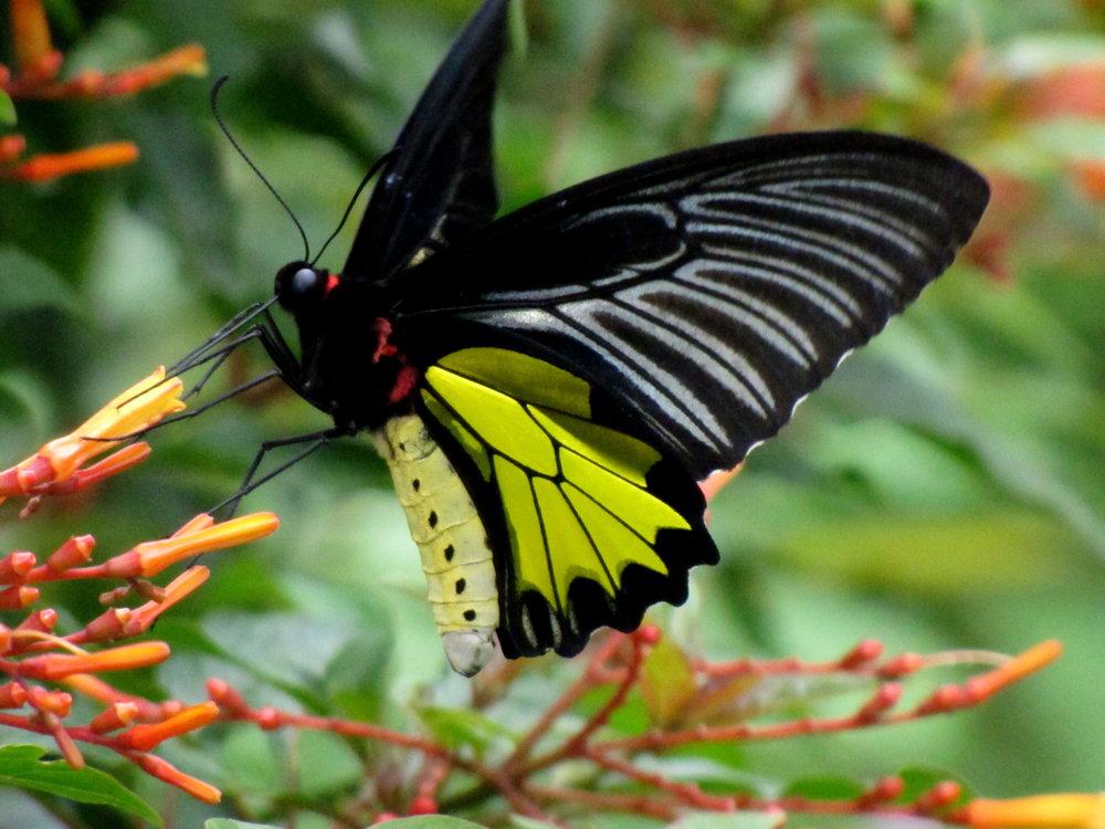 Southern_Birdwing_(Troides_minos).jpg