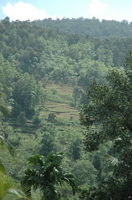 Ongoing forest clearing June 2016 occurring in the Singharaja ecosystem.(TRP 2016)