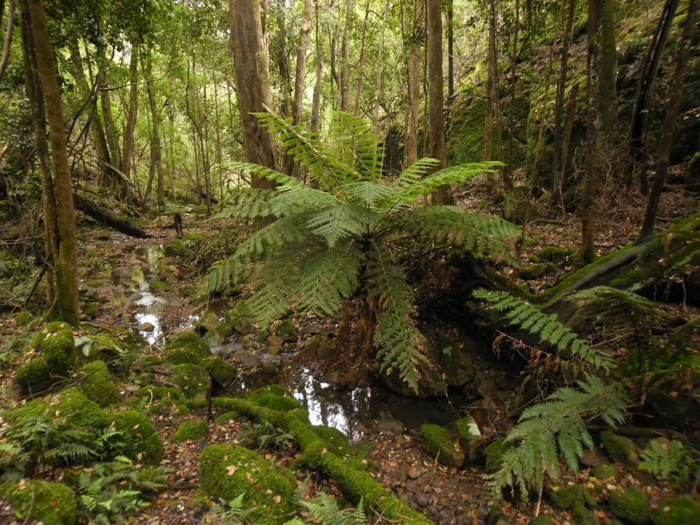 warm temperate rainforest.JPG