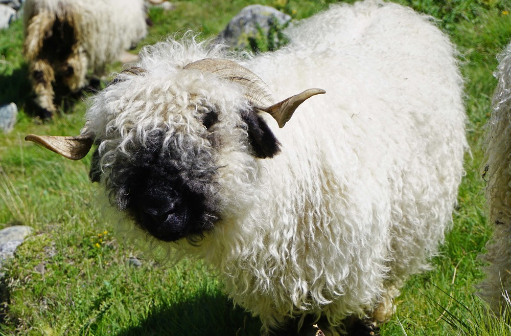 Black nosed sheep.  Who knew?