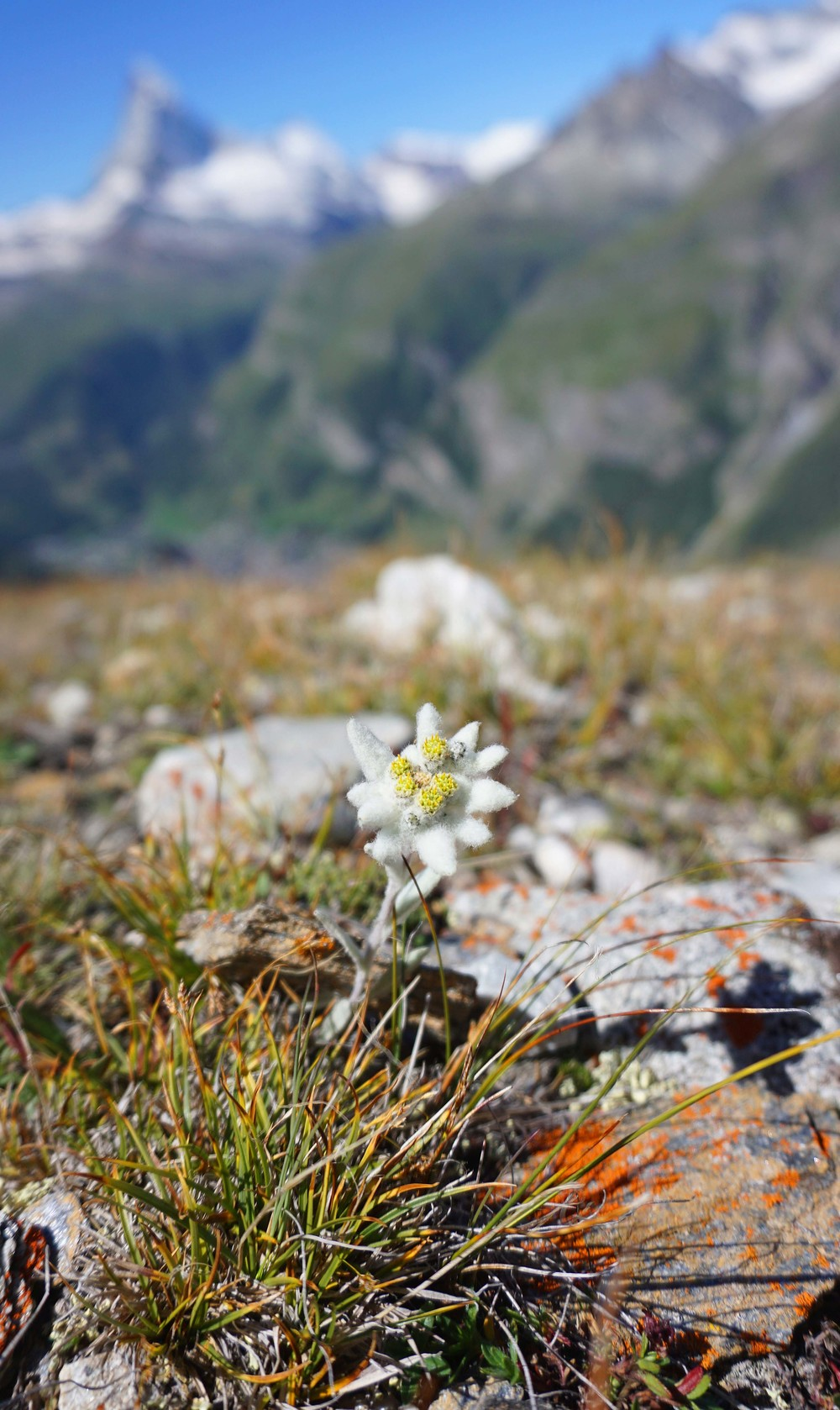 Edelweiss in the wild.