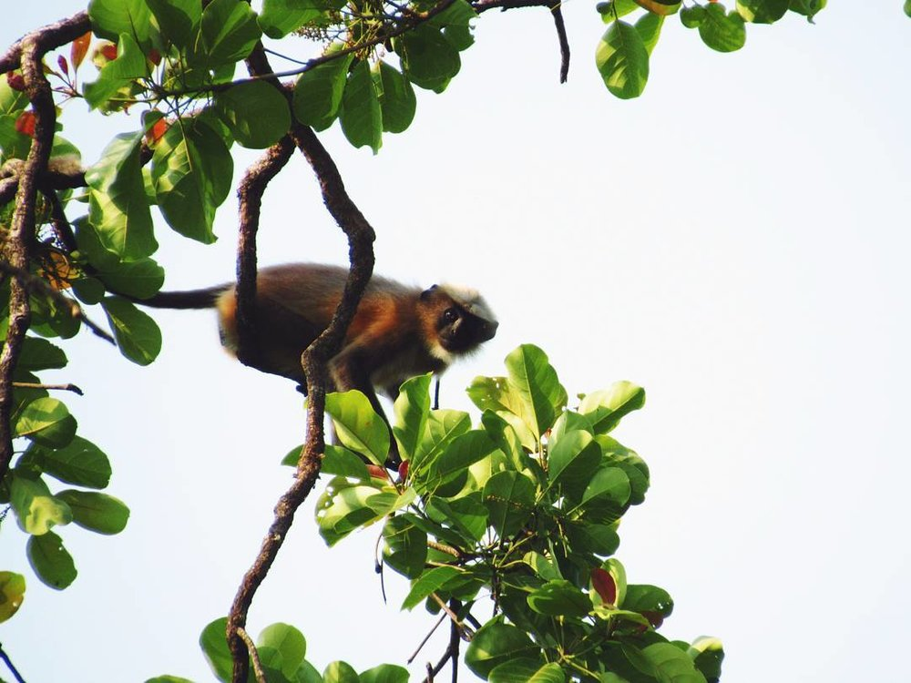 A gray langur pauses to look at me inquisitively, before leaping noisily from branch to branch.