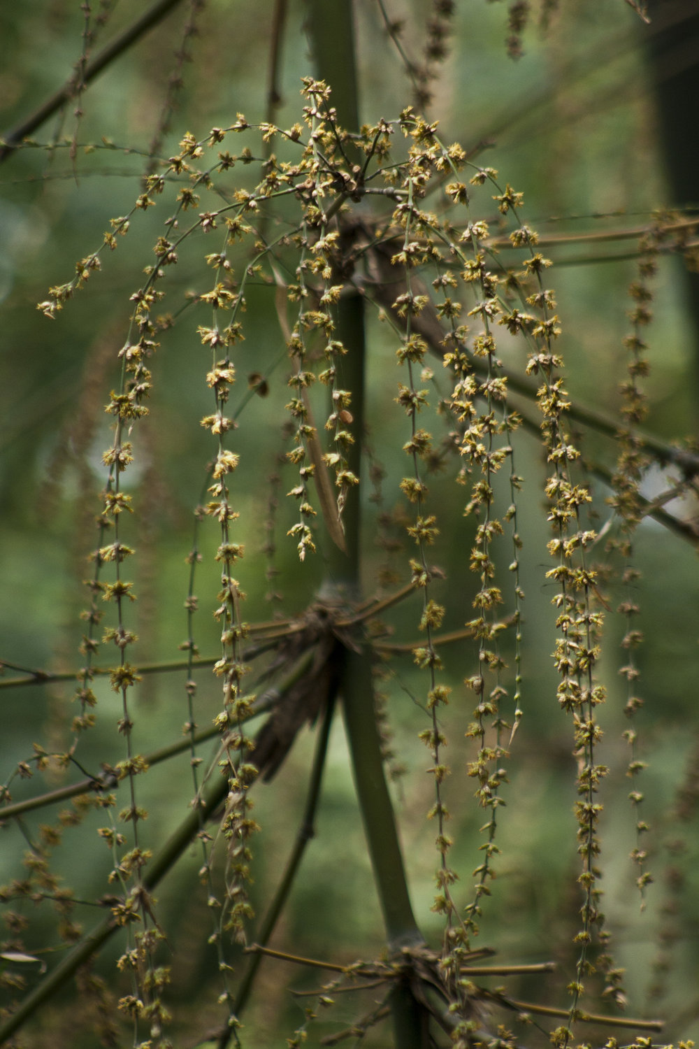 Christmas-time comes once year, but the bamboo flowers once in sixty. Image by Siddarth Machado.