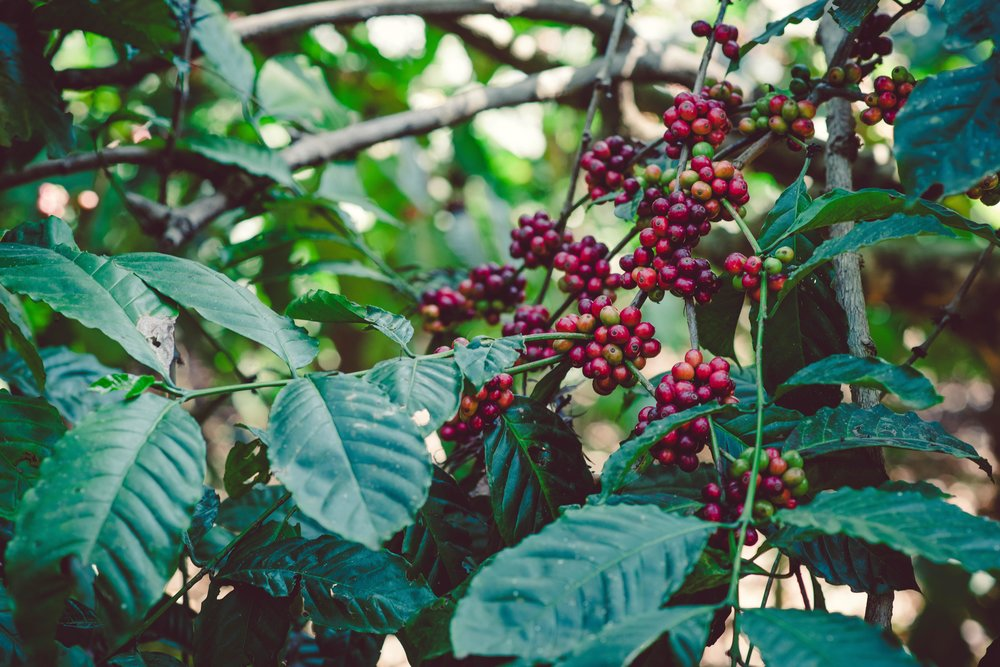 Coffee cherries at Nellikad Estate in Pollybetta, Coorg.