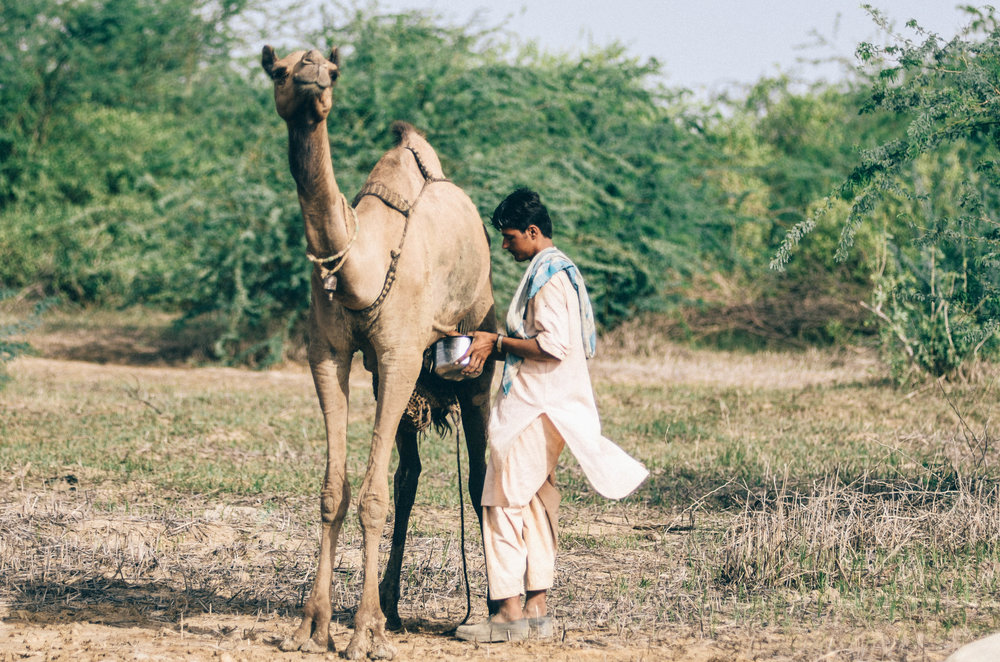 Kharai camels of Kutch are the only swimming camels in the world