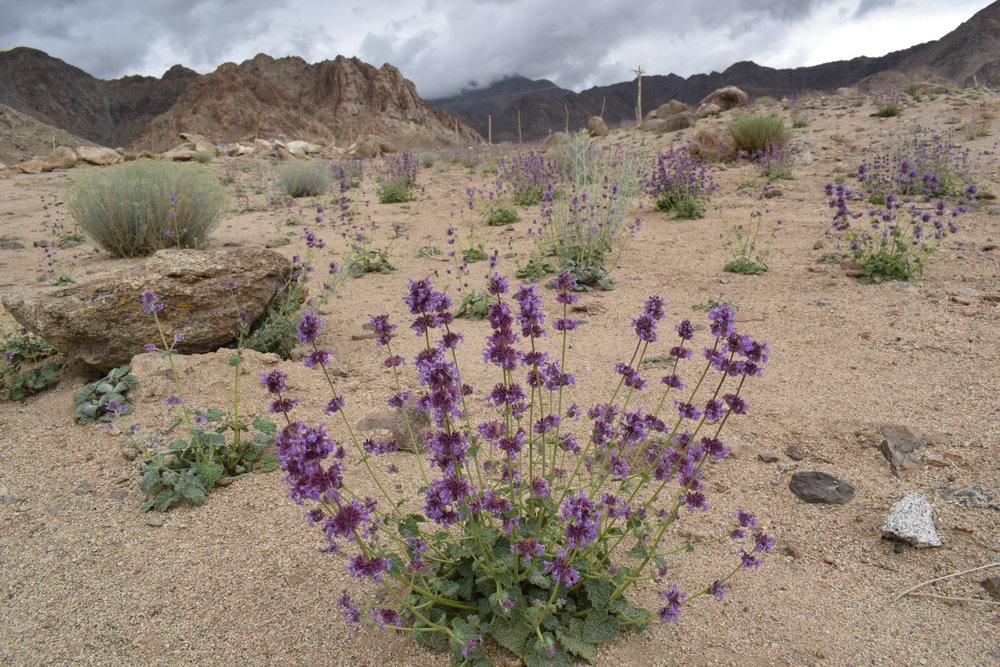 We were treated to entire mountain sides swathed in blooms of Nepeta floccosa