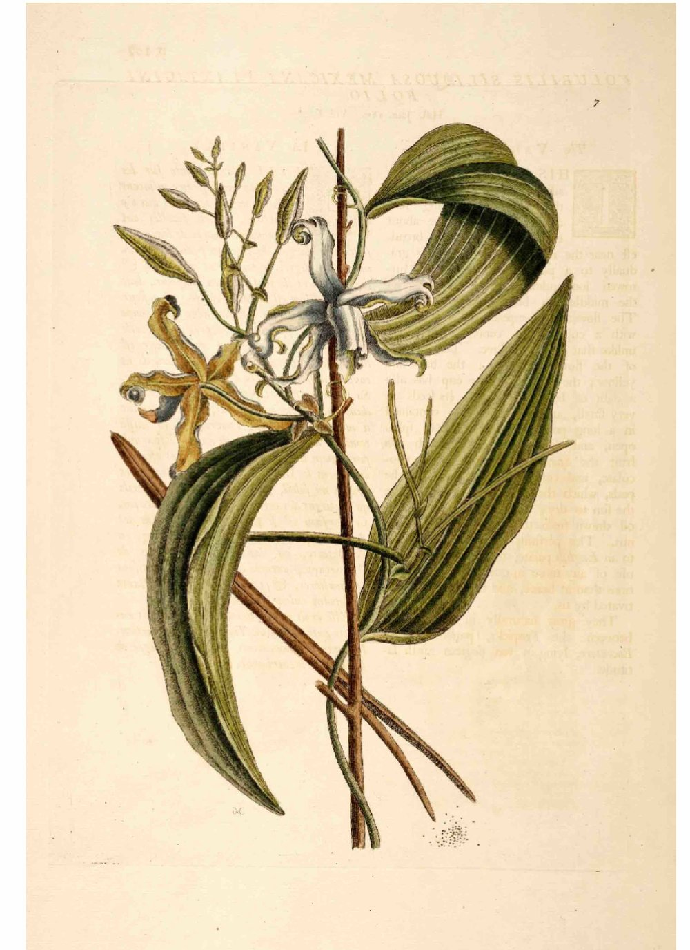 Vanilla plant, illustration