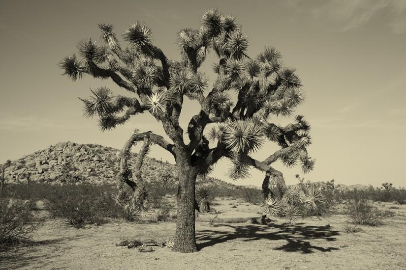 joshua-tree-001.jpg