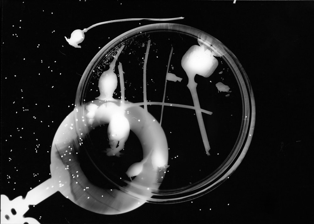 Poppy Seed Photogram 1