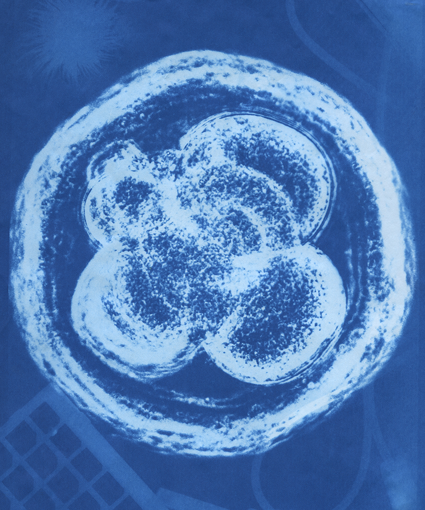Human embryo, 8 cell