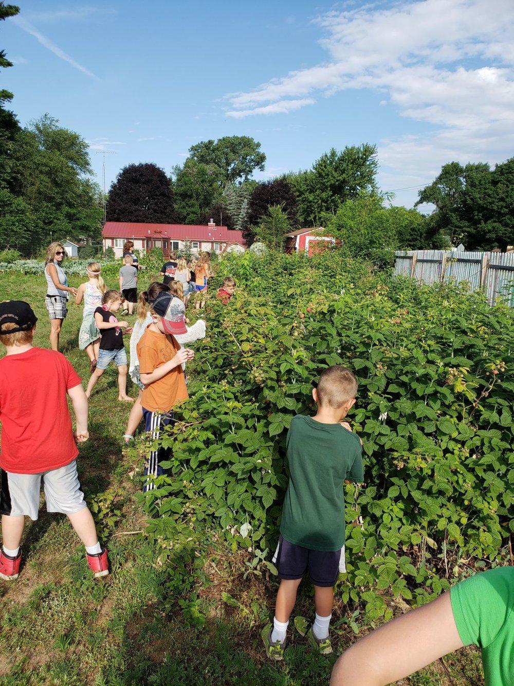 Students harvesting raspberries from their school garden.