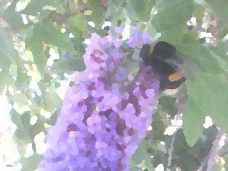Buddleia and bee, 2013