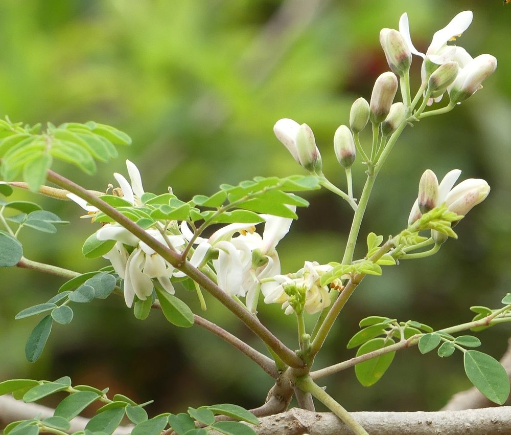 Moringa: What's the Evidence? — Dr  Samantha Dass, Naturopathic Doctor