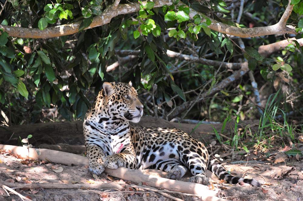 Jaguar-1.jpg