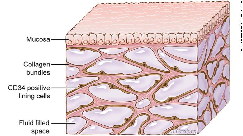 180327112034-new-human-organ-interstitium-exlarge-169.jpg