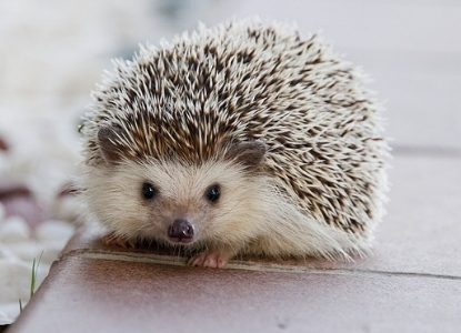 Baby Hedgehogs Are Also Very Cute