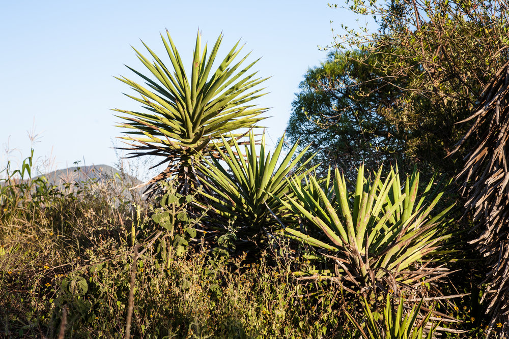 Agave Cuixe in the wild