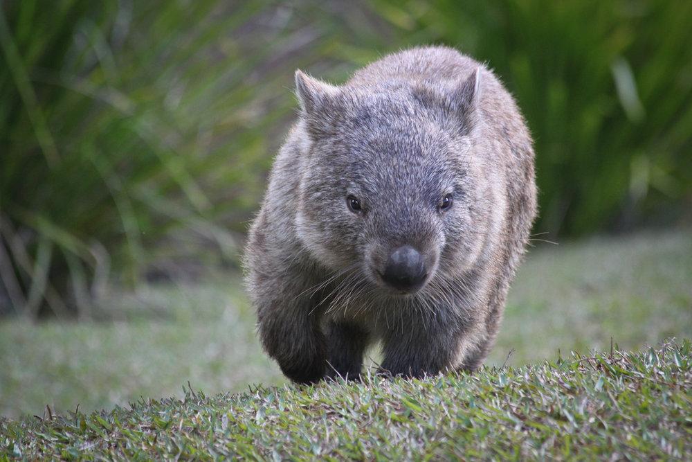 A wombat by Louis Jones -https://www.flickr.com/photos/ljcjones/