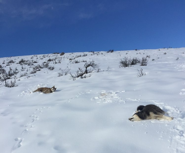 Happiness is a husky or two sliding around in the snow; just ask these two.