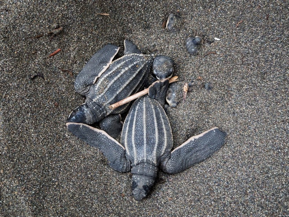 Leatherback turtle hatchlings emerging from their nest.
