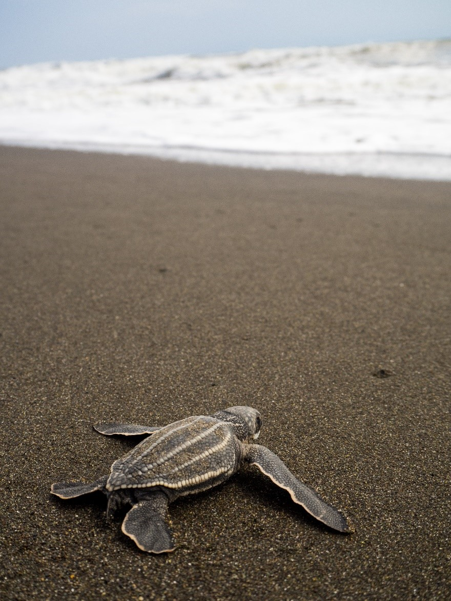 Baby Leatherback turtle headed to sea.