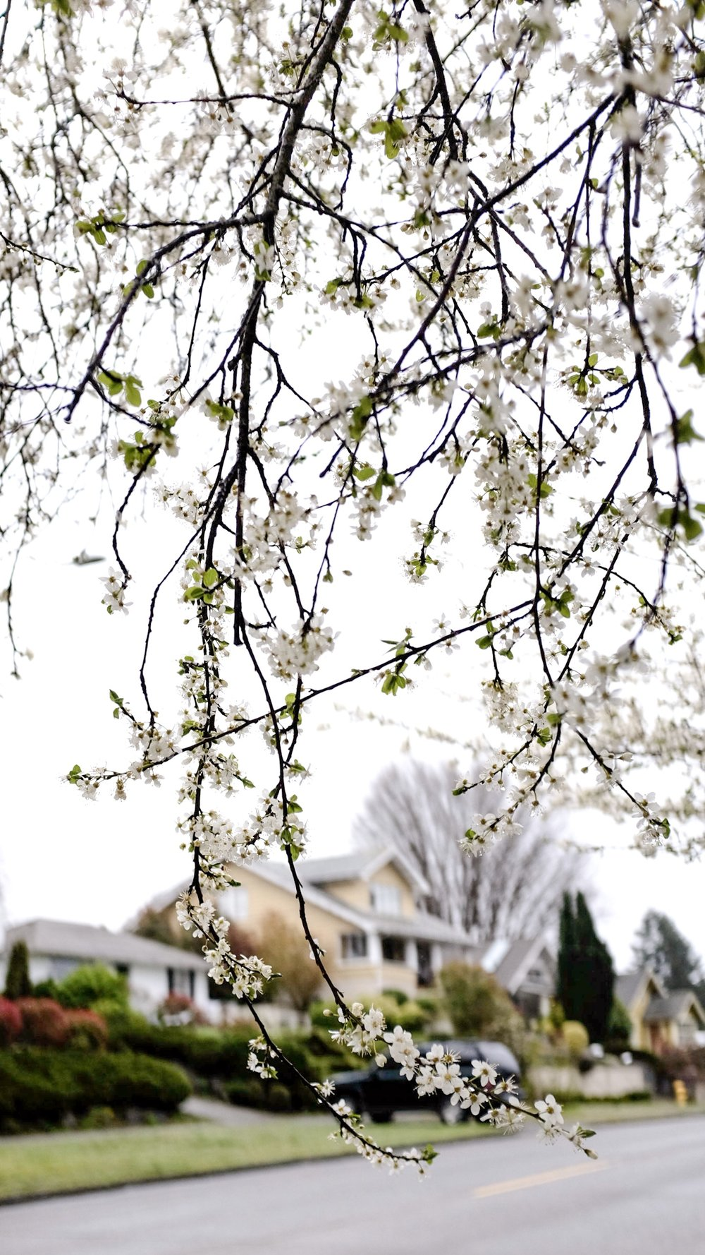 blossoms beatiful suburbs photograph