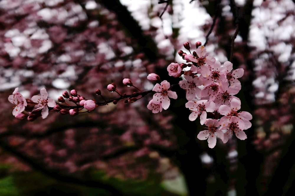 cherry blossoms photograph picture pink