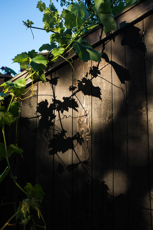 shadow vine fence pnw