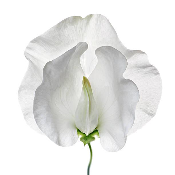 White Sweet Pea