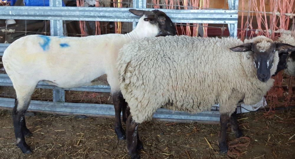 Ewes sheared and unsheared