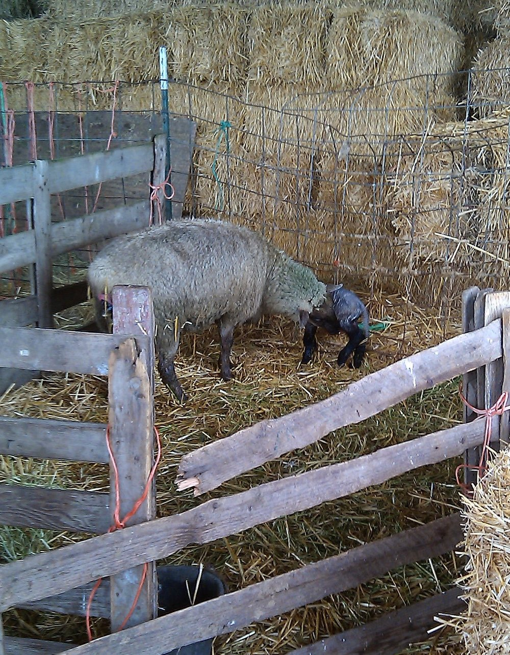 Lambing Time! Ewe with newborn lamb.
