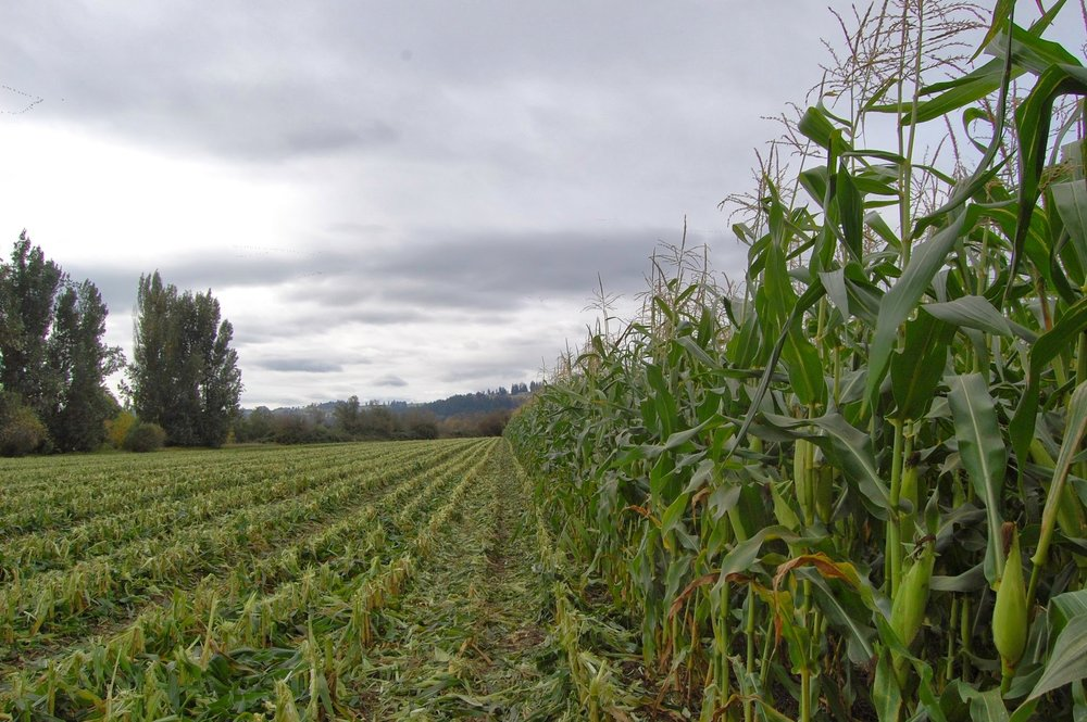 Sweet corn in northwest field.