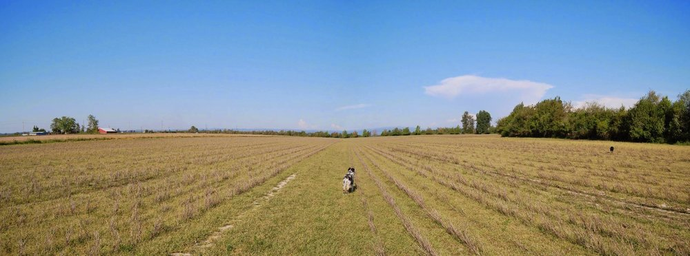 Left and right are the same NW fields.  Above shows field where the sweet corn was raised in 2011.  The field was later sprayed with herbicide (note in photo on the right) to kill all plants with the goal to prepare a clean field for planting of wetland forbs. After establishment of the forbs, the fields will be supplemented with native grasses, largely Tufted hairgrass.